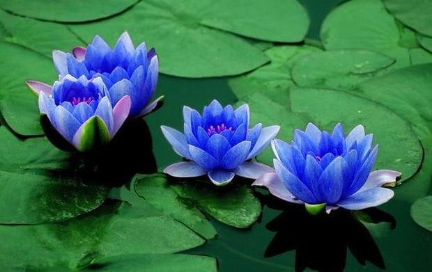 https://i2.wp.com/www.cnseed.org/wp-content/uploads/3Lotus%20flower%20seeds%20Nelumbo%20nucifera%20diamond%20Blue%20Plant.jpg