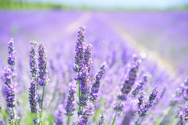 Lavendelveld bij blog over hersenfrequenties