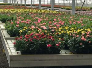 Rocket Farms Tour of Rose Production