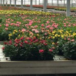 Rocket Farms Tour of Rose Production
