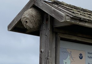 WASP NEST at Venice Beach Coastal Trail Crossroads on the Interpretive Sign