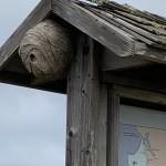 WASP NEST at Venice Beach Coastal Trail Crossroads on the Interpretive Sign