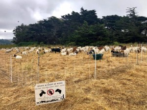 Overgrown Vegetation has Met its Match – the Goats are in Town!
