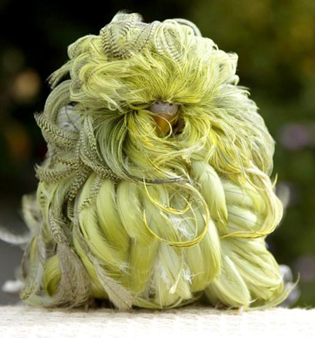feather duster budgerigar with mutation