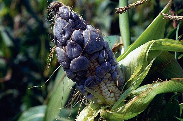 5 beneficios que debes conocer del huitlacoche u hongo de maíz ...
