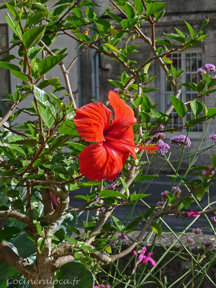 Hibiscus au jardin vert d'Angoûleme ©cocineraloca.fr