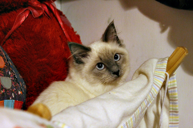 Cocktails in Teacups Pets Help Insomniacs Elsa Blue Point Ragdoll stress