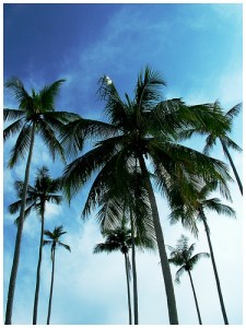 coconut trees - learn how to use their life giving benefits