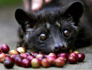 Kopi Luwak Is it the most expensive coffee in the world