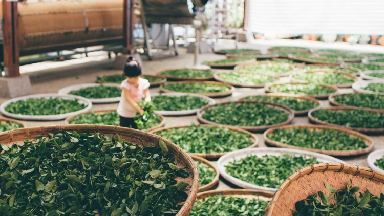 green tea drying