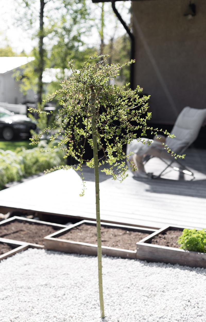 Kekkilä valkoinen Gabro-koristekivi, tundrapaju Yalta, puutarhakierros, kasvimaa