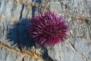 sea, urchin, spines