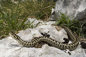 taille haie viper