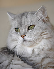 chatons persans a vendre