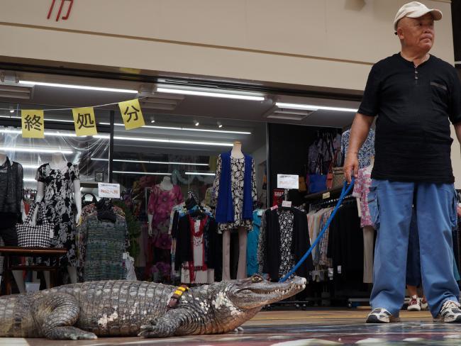 Com um típica coleira, Caiman passeia com seu dono pela cidade (Caters News Agency)