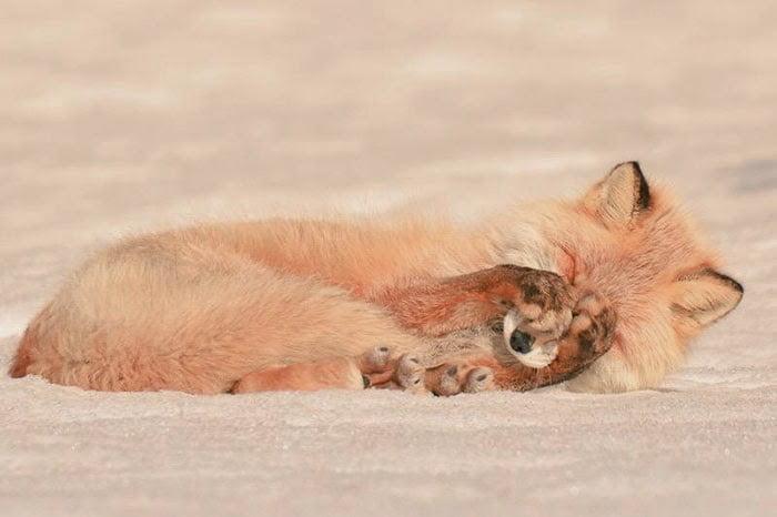 raposa vermelha de Hokkaido