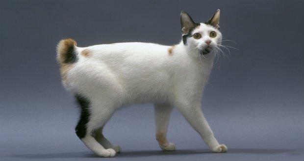 gato Bobtail