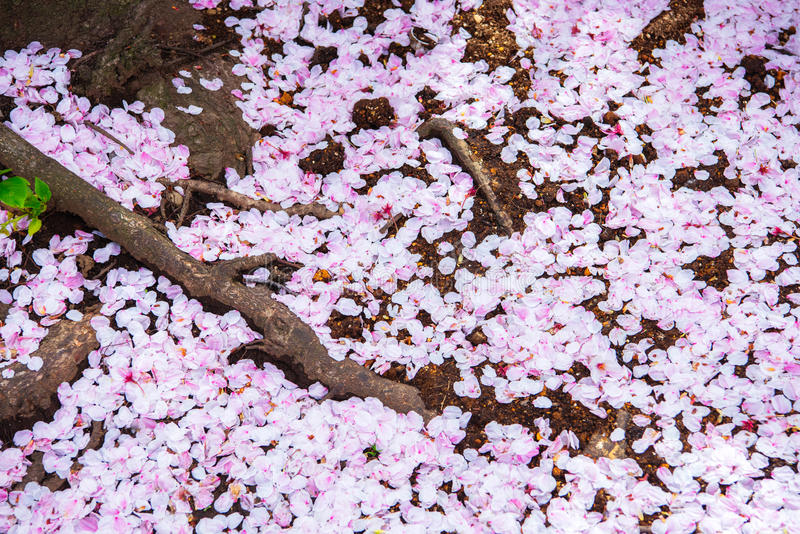 pétalas Sakura