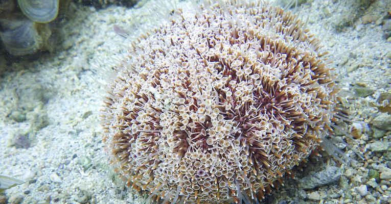 ouriço-do-mar do Japão