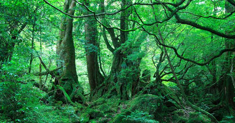 floresta Yakushima