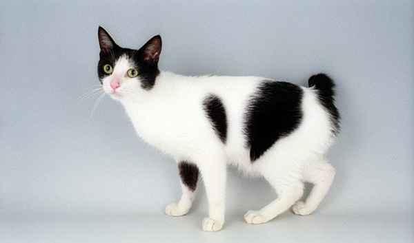 Bobtail raça gato Japão = Maneki Neko