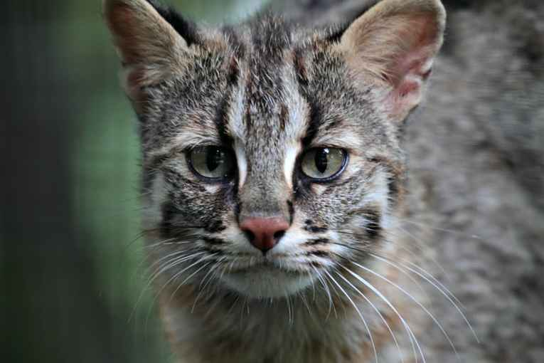 Gato selvagem Iriomote