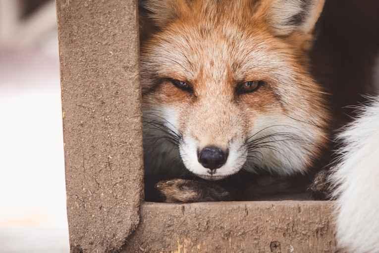 Raposa do Zao Fox