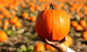 Halloween pumpkin harvest