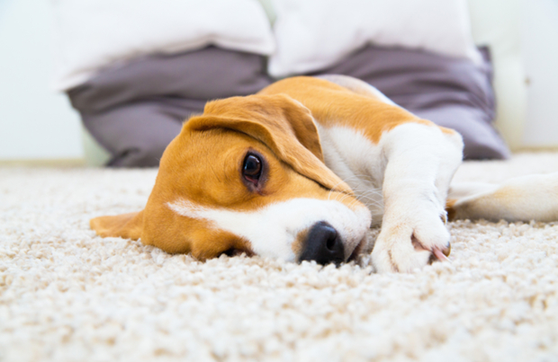 Colbert Carpet Cleaning Pet Treatments