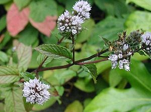 Three simple and usefull perennial herbs for the balcony