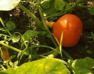 Fordeler ved samplanting i kjøkkenhagen