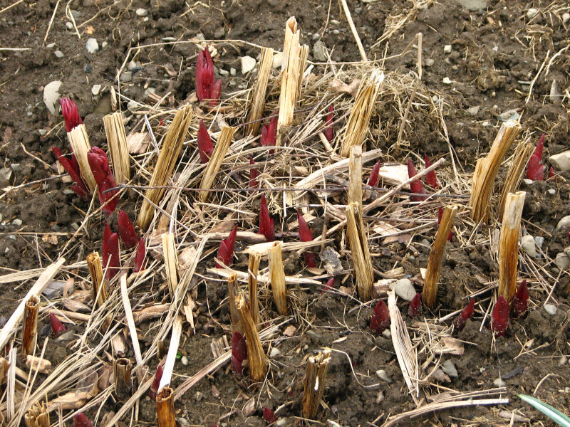 Image result for peonies sprouting