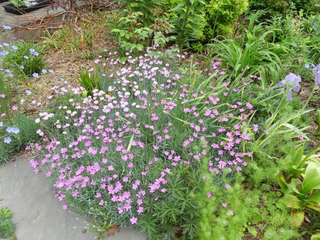 Seed grown dianthus