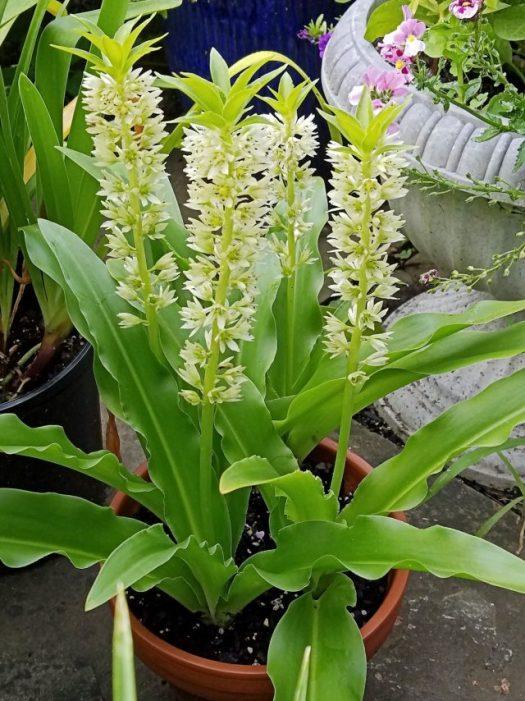 pineapple lily eucomis comosa