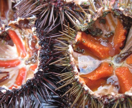New sea urchin project!