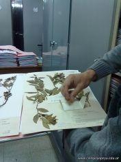 Determinacion taxonomica de una planta de mandarina 12