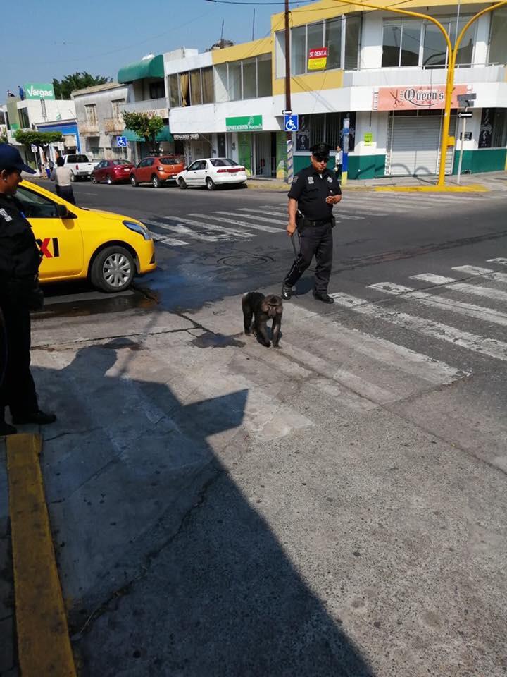 mono caminando en el centro fotos de Fernando Ross 2 - Sorprenden a mono caminando en las calles del centro de Colima (Video)