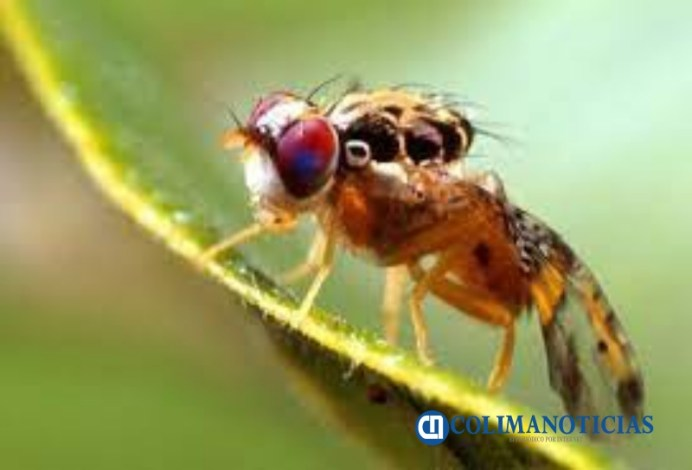 Libera Senasica 400 mil avispas parasitoides para combatir a la mosca del mediterráneo