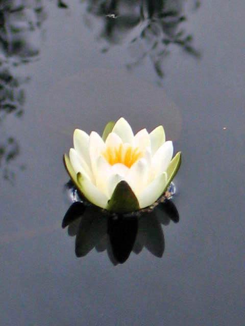 Waterlily, Hyltemasa (photograph)