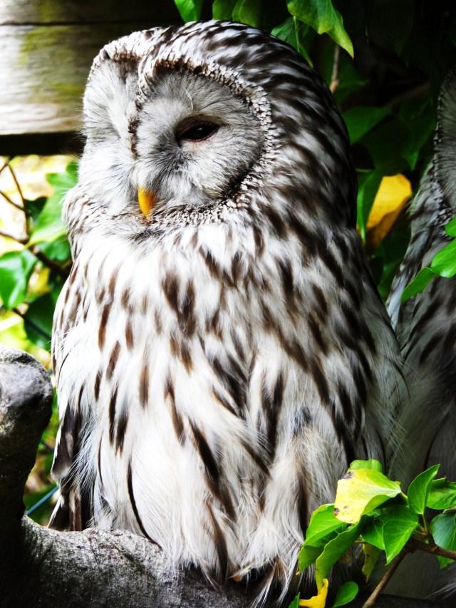 Barred Owl (photograph)