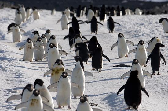 Penguin superhighway