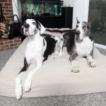 Best Dog Beds For Great Danes Our Top 5 Xxl Bed In 2019 Reviewed