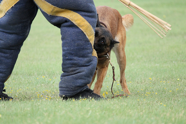 Pride, Inexperience, and Prong Collars – When Bad Training Becomes Dangerous