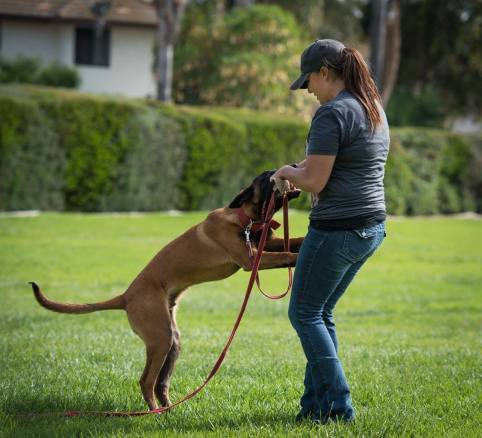 Dog trainer, Meagan Karnes plays tug with her Malinois in the grass.