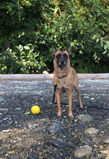 Malinois stands on leash with yellow ball tug by his feet