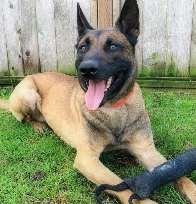 Malinois lays in grass with toy tug.