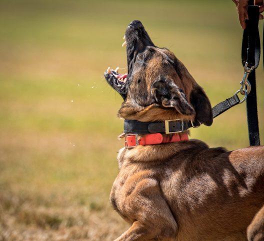 Malinois on leash barks on leash during training.