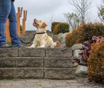Labrador practicing obedience