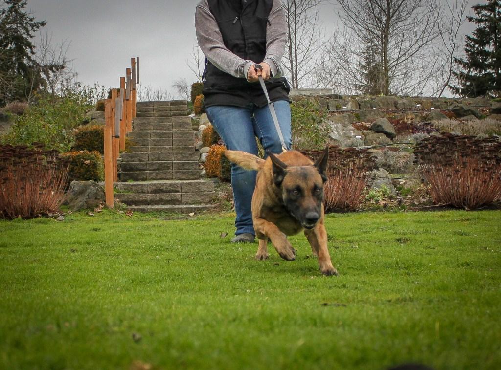 Belgian Malinois Dog pulling on leash