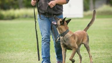 Belgian Malinois walking next to owner with focus